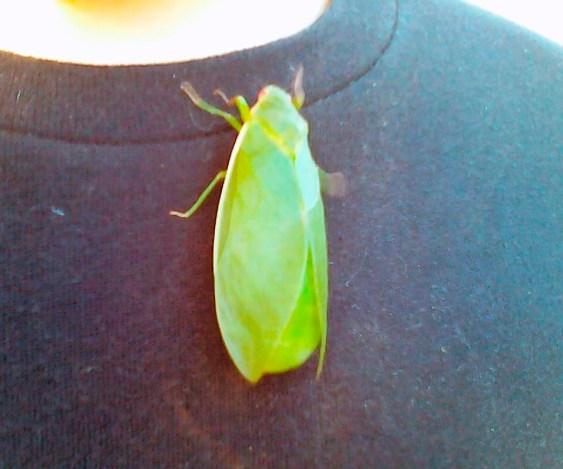 The big green guy, climbing Adam's t-shirt.