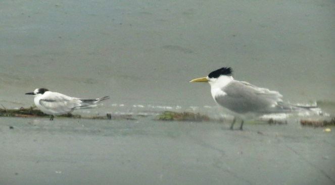 The Crested Tern ~ mother and son perhaps?