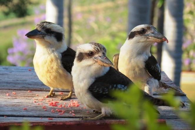 Territorial groups of kookaburras flock together.