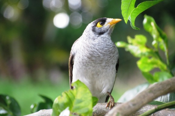 A Noisy Miner bird, watching me gardening from the safety of the lemon tree branches.