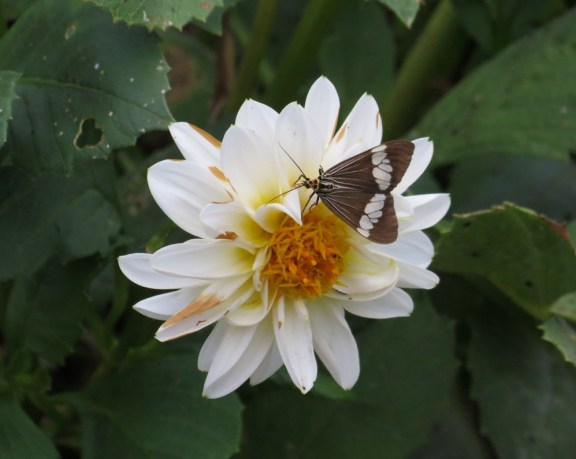 Blooming Dahlias.