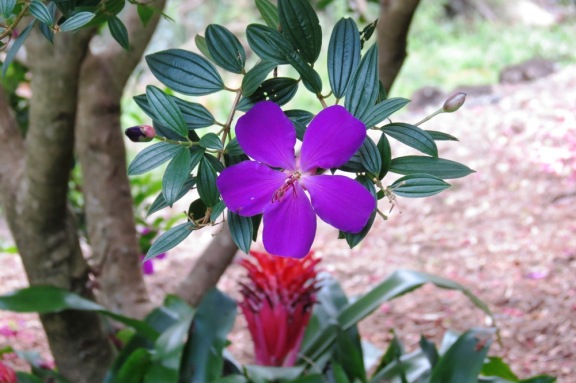A favorite in the garden, my Tibouchina tree.