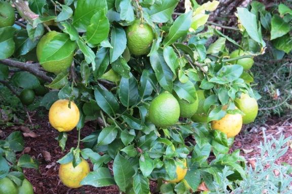 No shortage of lemons.