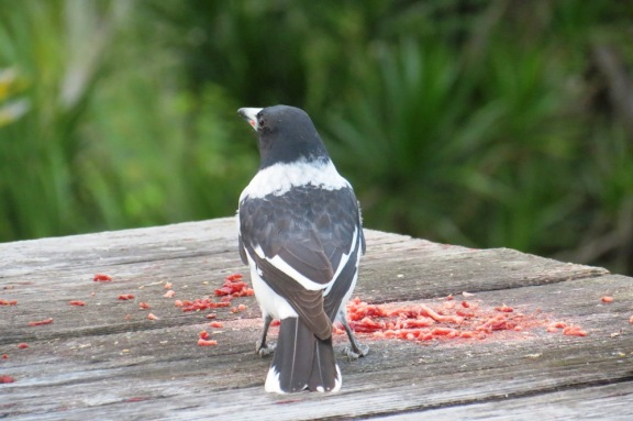 Butcher Bird.