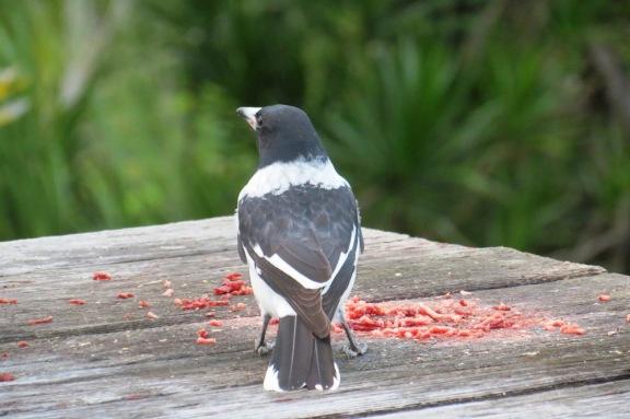Butcher Bird.