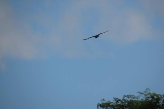 Another recent regular visitor to the skies above my home, a Brahminy Kite.