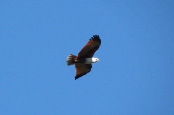 A Brahminy Kit, soaring through the great blue sky.