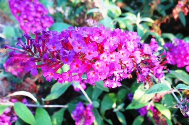 Buddleia's are also known as the Butterfly Bush. If I were a butterfly I'm sure I'd love to sit in the sunshine on this flower, enjoying the colour.