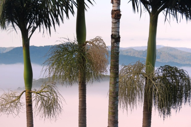 Palm trees, wighed down with bunches of palm seeds, looking stunning against the mist.