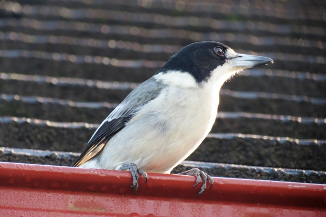 Little Butcher Bird, waiting for his breakfast.