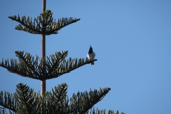 Butcher Bird on Blue.