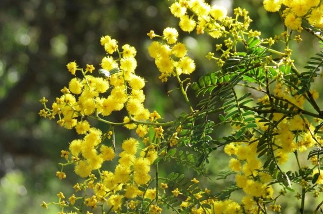 Winter wattle in bloom at Leura, on the Blue Mountains, July 3rd.