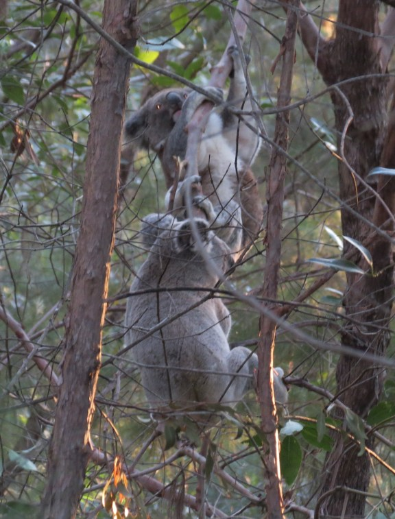 The male koala chasing the female up the tree.