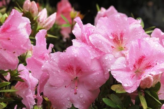 Raindrops on the pink Azaleas.