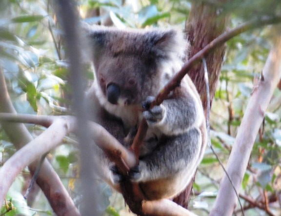 A typical image of a cute and cuddly koala, just what we imagine they should look like. :)