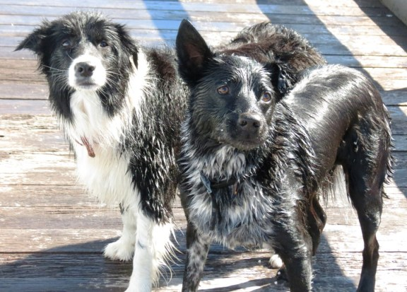 An intense moment for Bella, the Border Collie and Porter, the Border Collie cross Cattle Dog.
