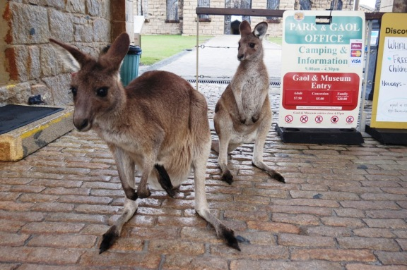 You can see here the little joeys long black hind leg sticking out of mama's pouch.
