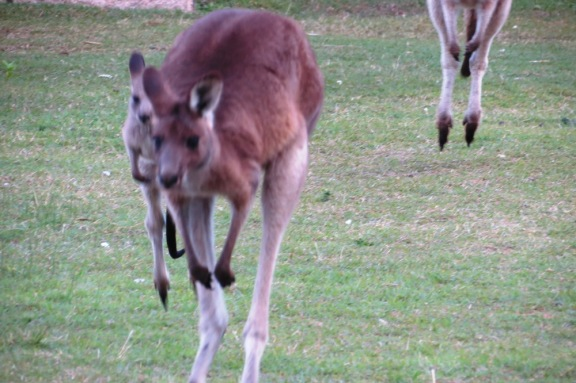 Kangaroos legs are incredibly strong as you can see here by the way they jump.