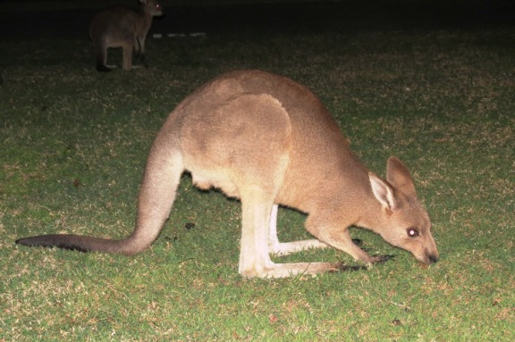 What a treat to see a kangaroo coming up so close to my car!