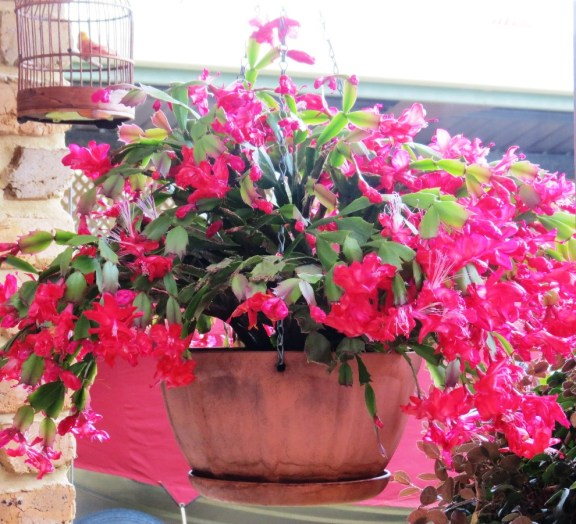 One of Mum's favourite plants, Zygocactus.