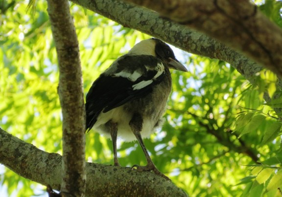 First sighting of a baby Magpie, newly emerged from the nest.