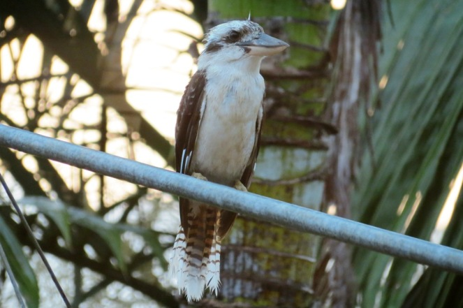 About 5pm, after the rain, with the thunder still rumbling in the distance. This kookaburra wanted his dinner!