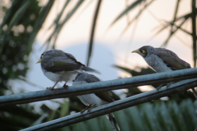 The Noisy Miners were all atwitter on the clothesline.