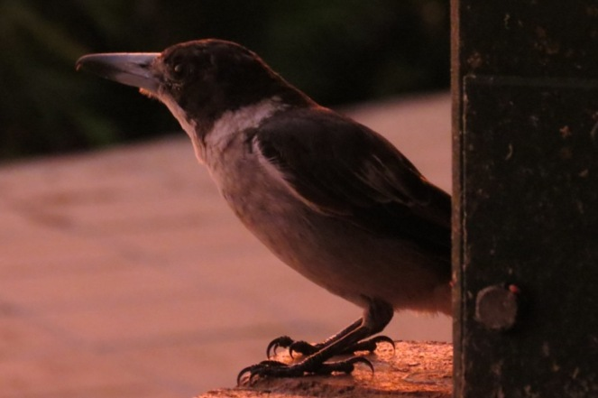 The Butcher Bird had been flitting back and forth for food all day. I think he must have been stocking his larder, knowing there was a storm approaching. Here he is at 8pm.