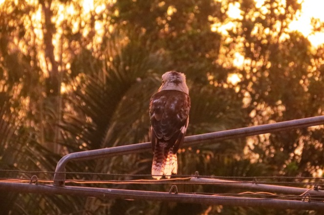 One of the kookaburras enjoyed a view of the sun setting from the clothesline.