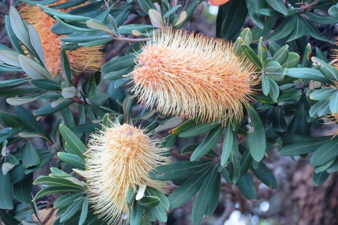 Bottlebrush.