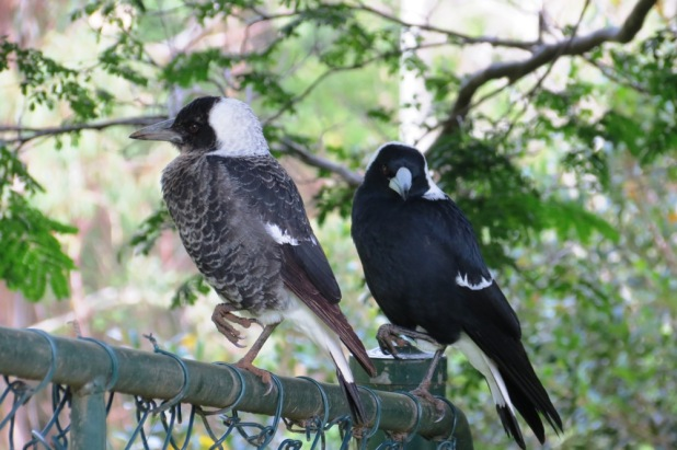 Father & Son ~ The mottled Magpie is one of three baby birds I had the pleasure of hand feeding during this year.