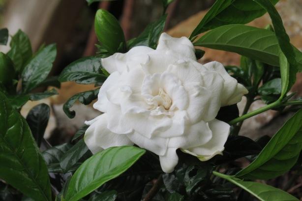 Another new plant in Tess's Garden, a sweetly fragranced Gardenia.