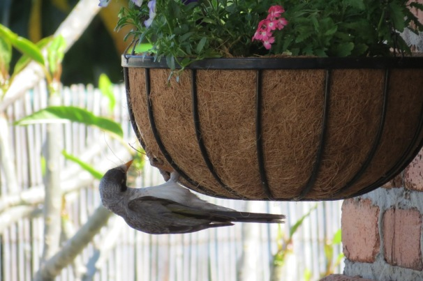 When I added a hanging basket to the back veranda, a Noisy Minor thought the basket insert would be just the thing to add comfort to her nest.