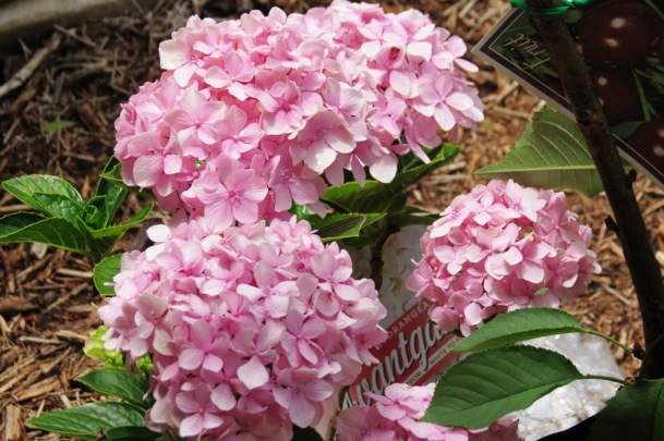 I have planted a lot of old-fashioned hydrangeas in the garden this year.