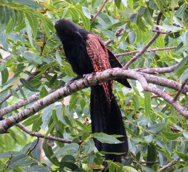 coucal 4