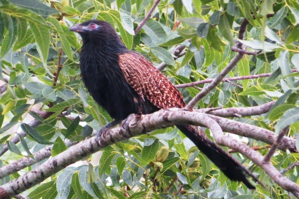 A magnificent Pheasant Coucal.