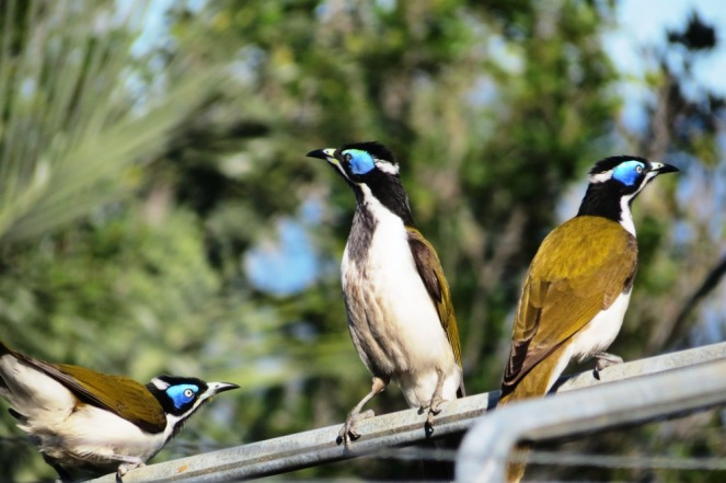 honeyeaters (2)