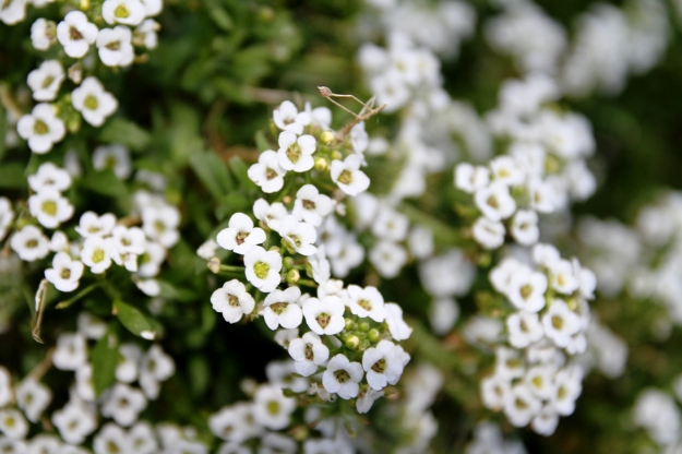 An all-time favouite edging plant, Alyssum.