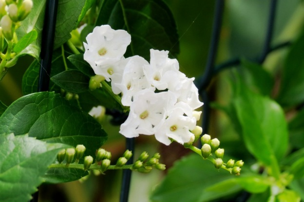 A beautiful climbing shrub, Duranta.