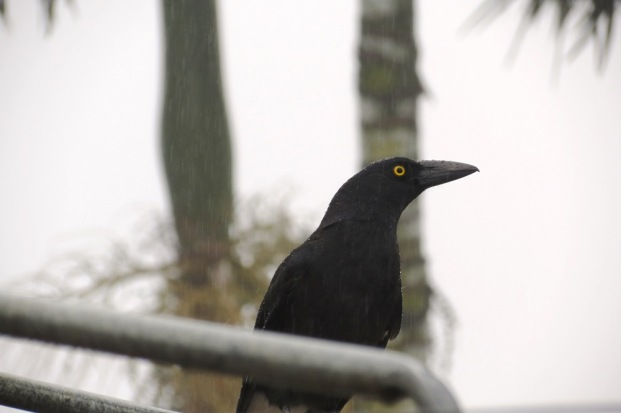 The Currawong's Return.