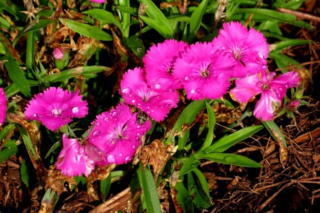 Another favourite, Dianthus.