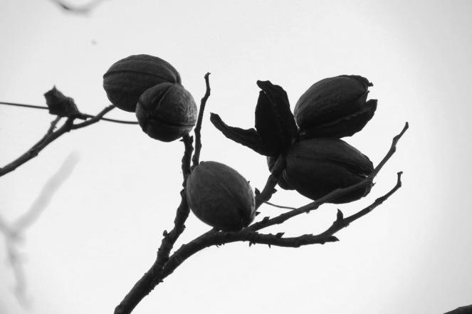 winter pecans
