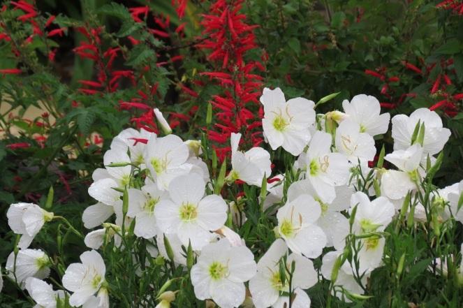 primrose and sage